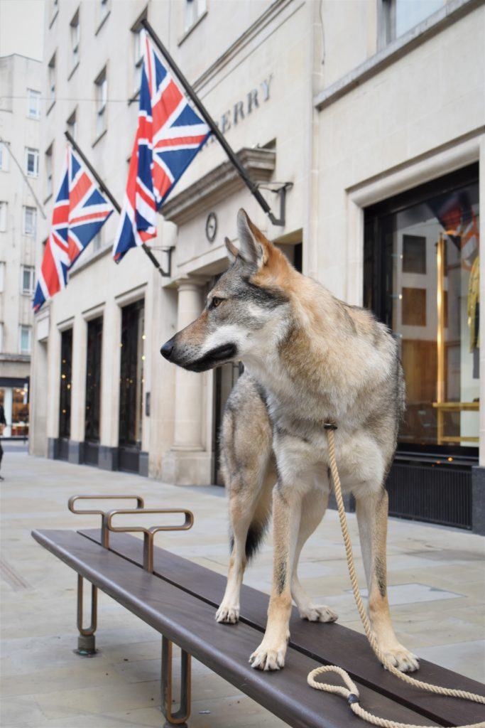 Czechoslovakian Wolfdog big male in the city