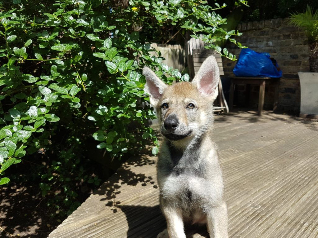 wolfdog puppy great britain